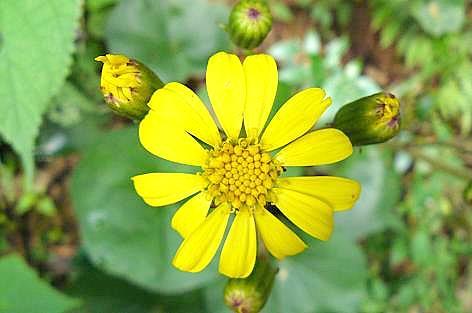 ツワブキの花♪