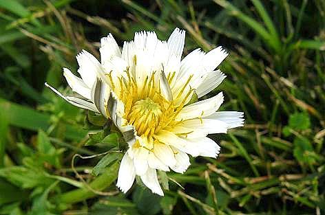 白花タンポポだ~♪
