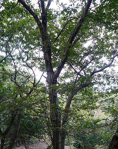 大きな栗の木の下で♪