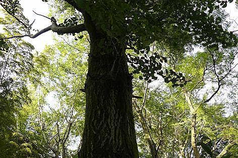 大きな銀杏の木♪