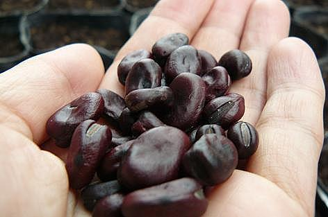 赤空豆の種♪