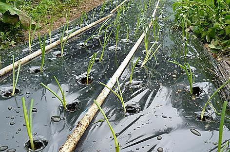 雨の中の植付♪