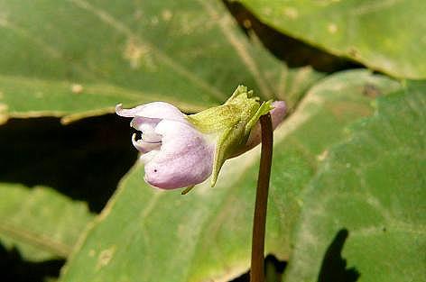スミレの花♪