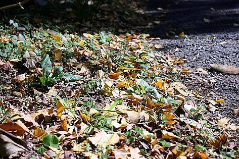 落ち葉は黄色く♪