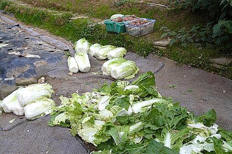 白菜の葉っぱの山♪