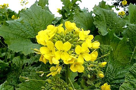 12月末の菜の花♪