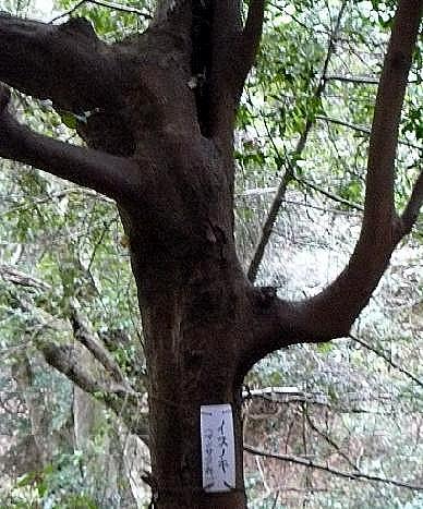 イスの木♪