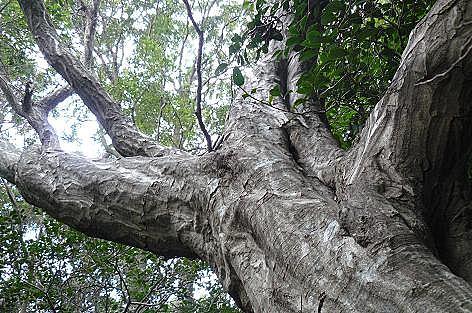 ゴツゴツの木♪