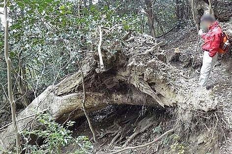 倒れた木の根っこ♪