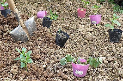 芋畑に定植♪