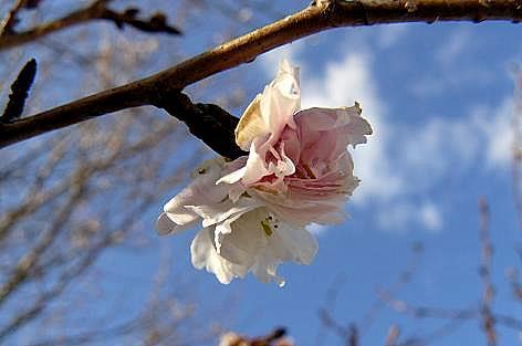 早咲きの桜の花も♪