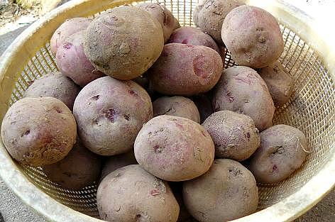 アンデスレッドの種芋♪