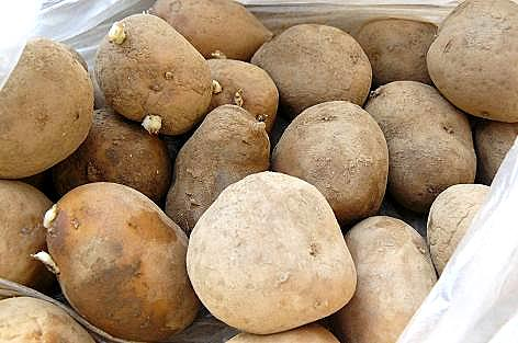 インカのめざめの種芋♪