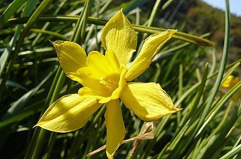 黄色い水仙も♪