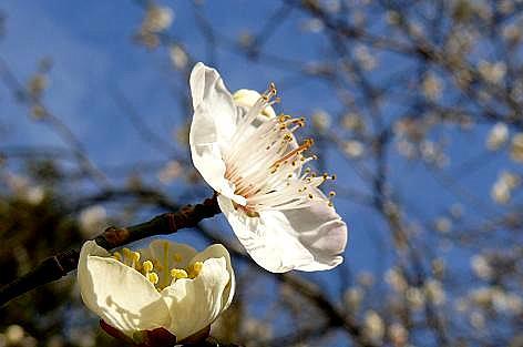 畑の梅の花♪