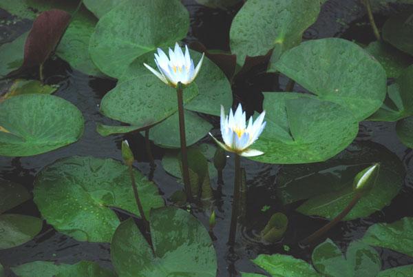 旅の途中で見事な蓮池を発見
