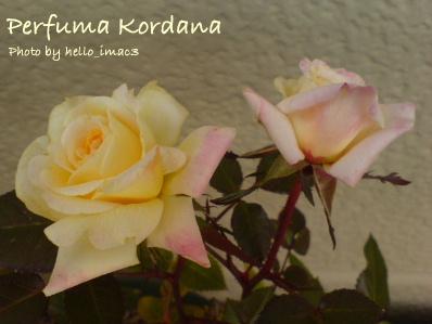 Perfuma Kordana