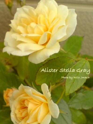 アリスター・ステラ・グレイ