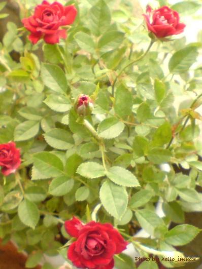 名無しの赤のミニバラ
