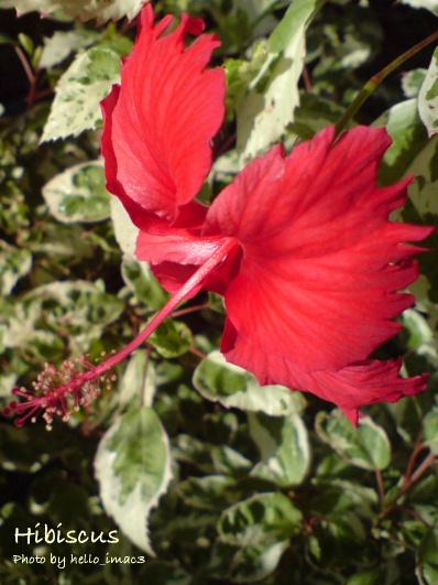 斑入り葉ハイビスカス