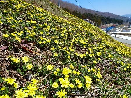 s-稲越フクジュソウ群生地H24.4.14撮影1