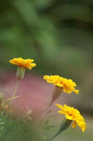 100mmMACRO+α-7D 黄色いお花♪