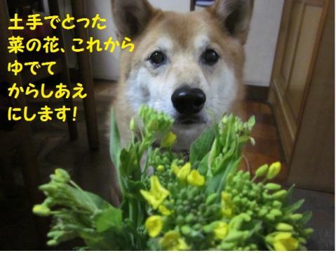 菜の花のからしあえ