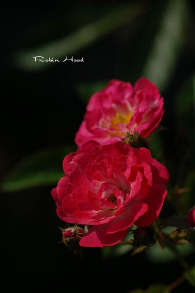 robin6.jpg