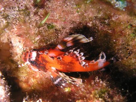ヒレボシミノカサゴ幼魚