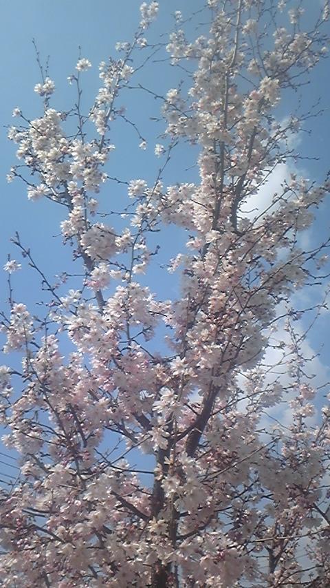 22.4.3(施設桜)