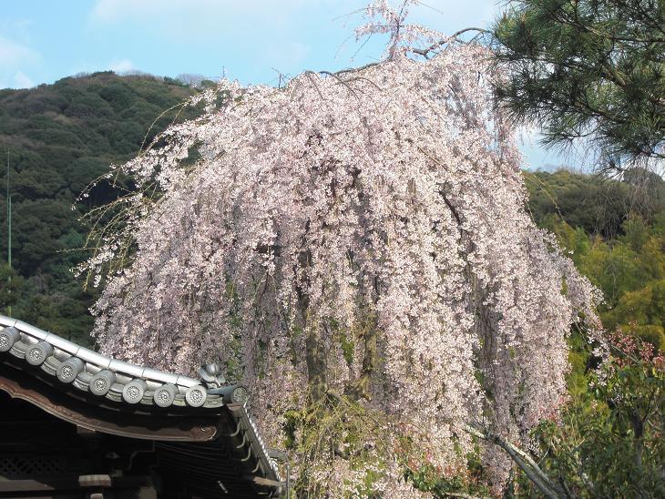 枝垂れ桜七分咲き