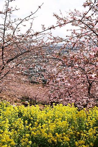 桜の花と町並み