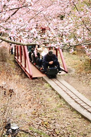 桜の木の下を…