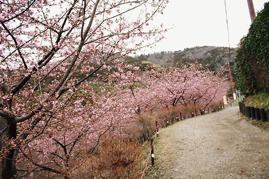 河津桜の並木