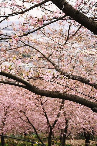 桜の幹と町