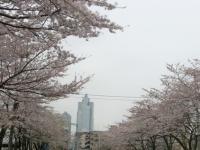 晴海聖路加桜a