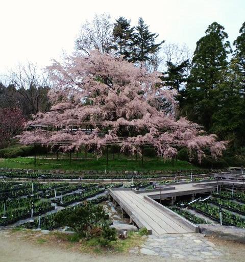 植物園のしだれ桜