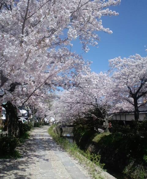 哲学の桜3