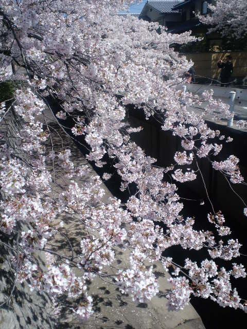 哲学の桜4
