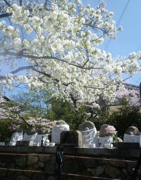 哲学の桜2