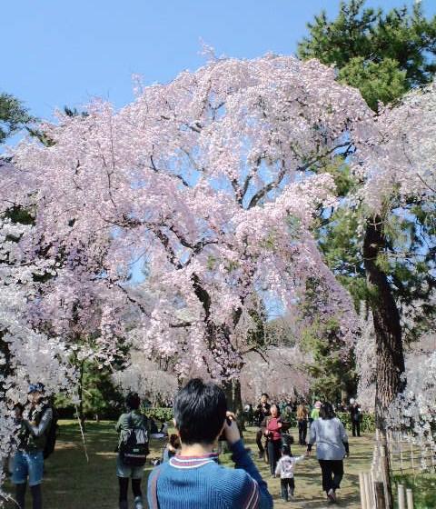 御所の桜2