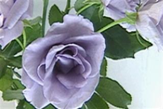 青いバラ原画2処理_R