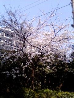 会社の桜の木