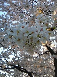 4/11 満開の桜