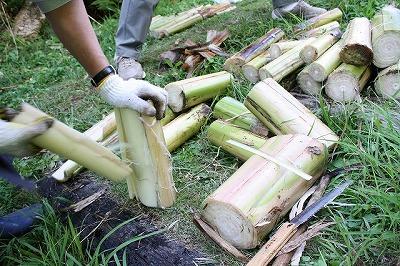 芭蕉の採取1
