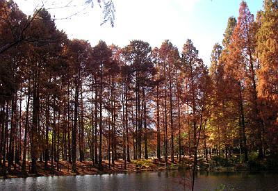 初冬のラクウショウの森(大阪市立長居植物園)