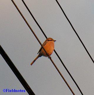 百舌鳥太郎?