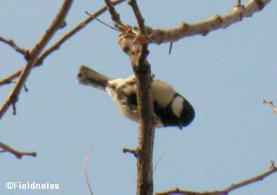 桜の木のシジュウカラ