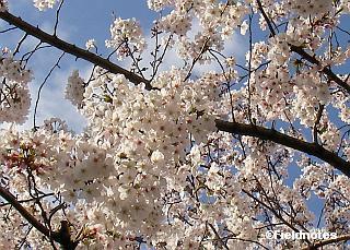 桜(ソメイヨシノ・大阪)