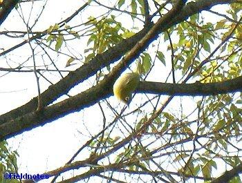 枝からぶら下がるメジロ
